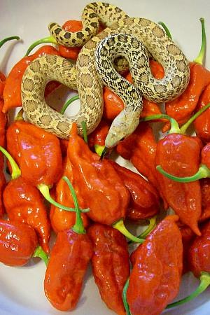 Naga morich zaan recipes blistering forumfinder Choice Image